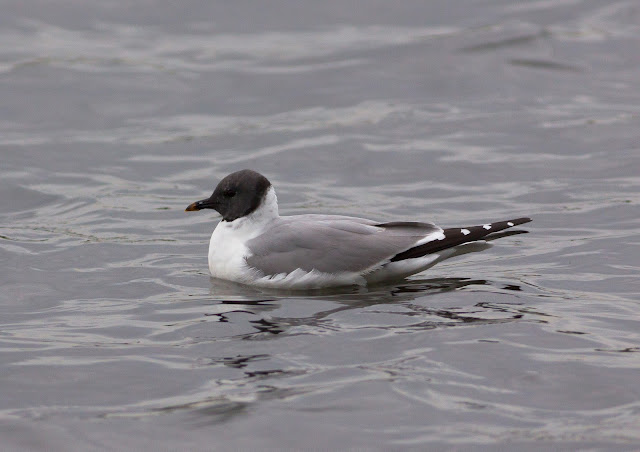 Sabine's Gull - Pennington Flash