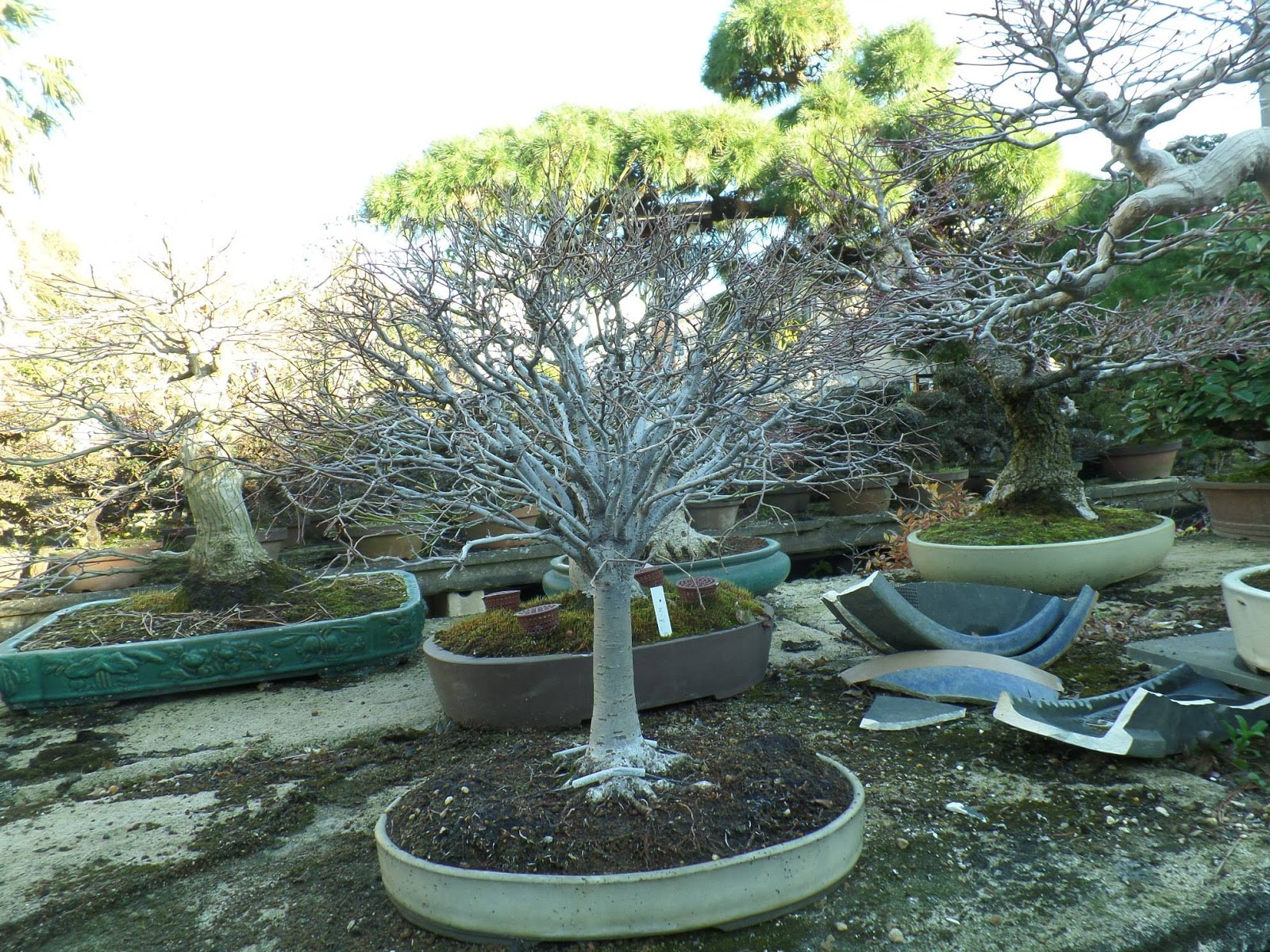 Walter Pall Bonsai Adventures Zelkova 1