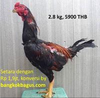gambar dan harga ayam bangkok jenis ayam birma