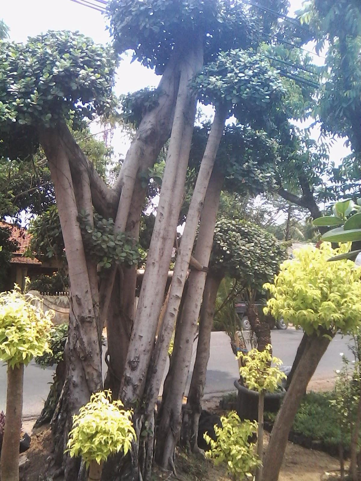 beringin korea ukuran 4 m