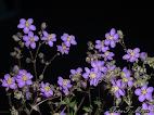 Spergularia rubra = Arenaria rubra