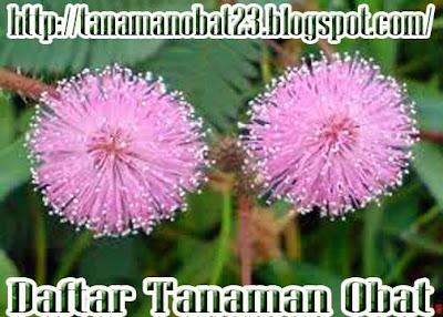 Tanaman putri malu (Mimosa pudica Linn.)