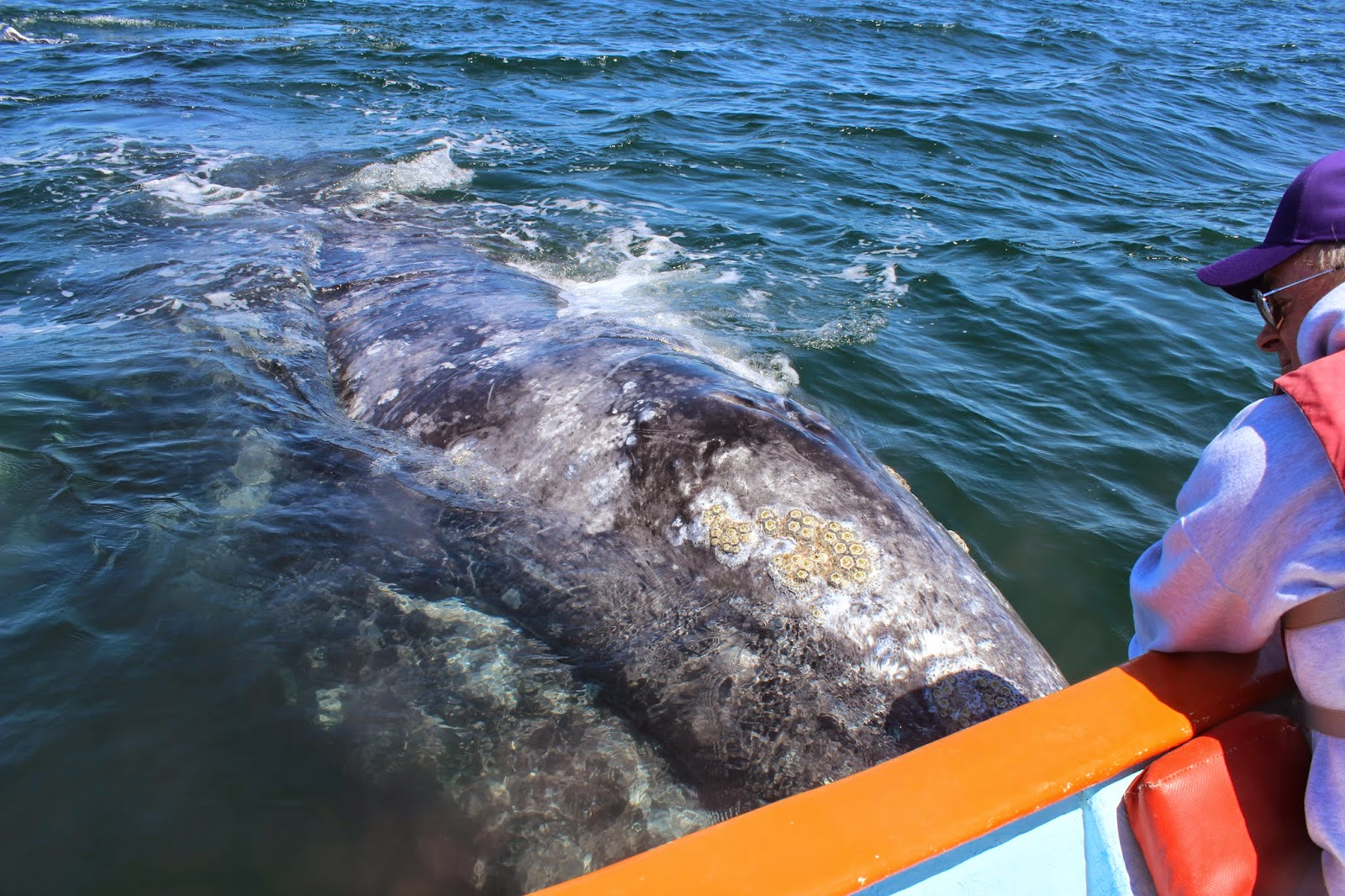 Affectionate gray whale