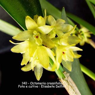 Octomeria densiflora