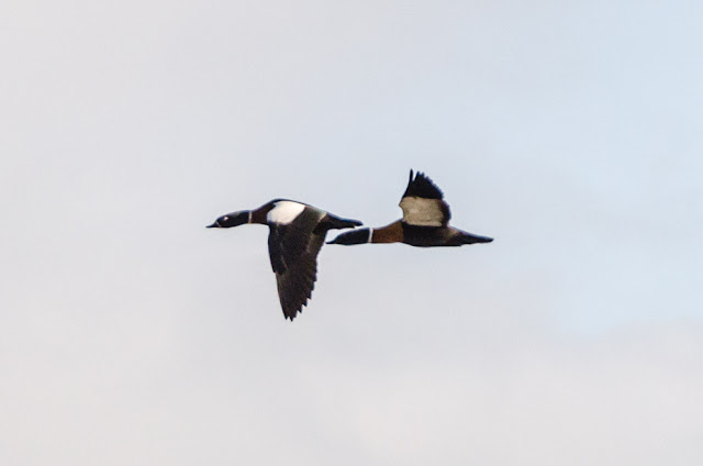australian shelducks flying