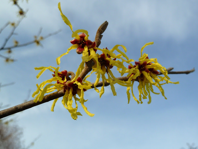 Yellow witchhazel flowers