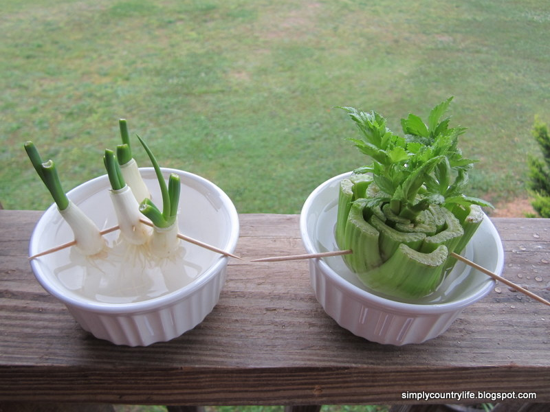 how to grow scallions in water