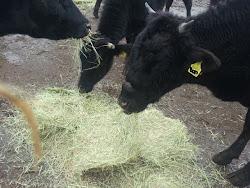 警戒区域で牛が生きていた!