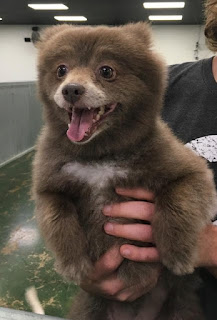 Dog Bear, cute dog,