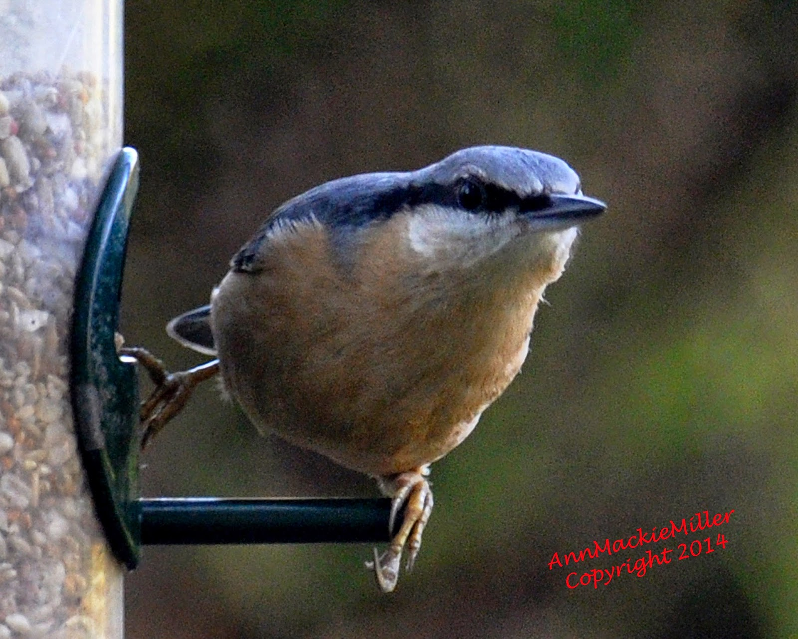 nuthatch on garden feeder