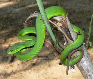 albolabris venom,  trimeresurus albolabris venom,  cryptelytrops albolabris venom,