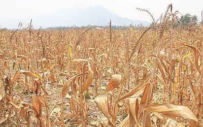 Kemarau, 20 Hektar Tanaman Jagung Warga SAD Tebo Gagal Panen