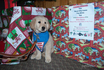 "The Golden Retriever puppy sits between a table on the left with a Christmas tablecloth, and a box to the right. The box is wrapped in Christmas paper and has a sign on it that it is a collection box for toys for kids by the Lions Club. The puppy is wearing his blue ""Future Leader Dog"" bandana and his leash is stretching toward the camera."