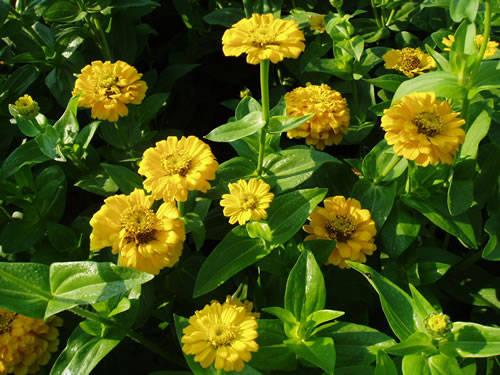 Zinnia  Yellow Yellow Zinnia