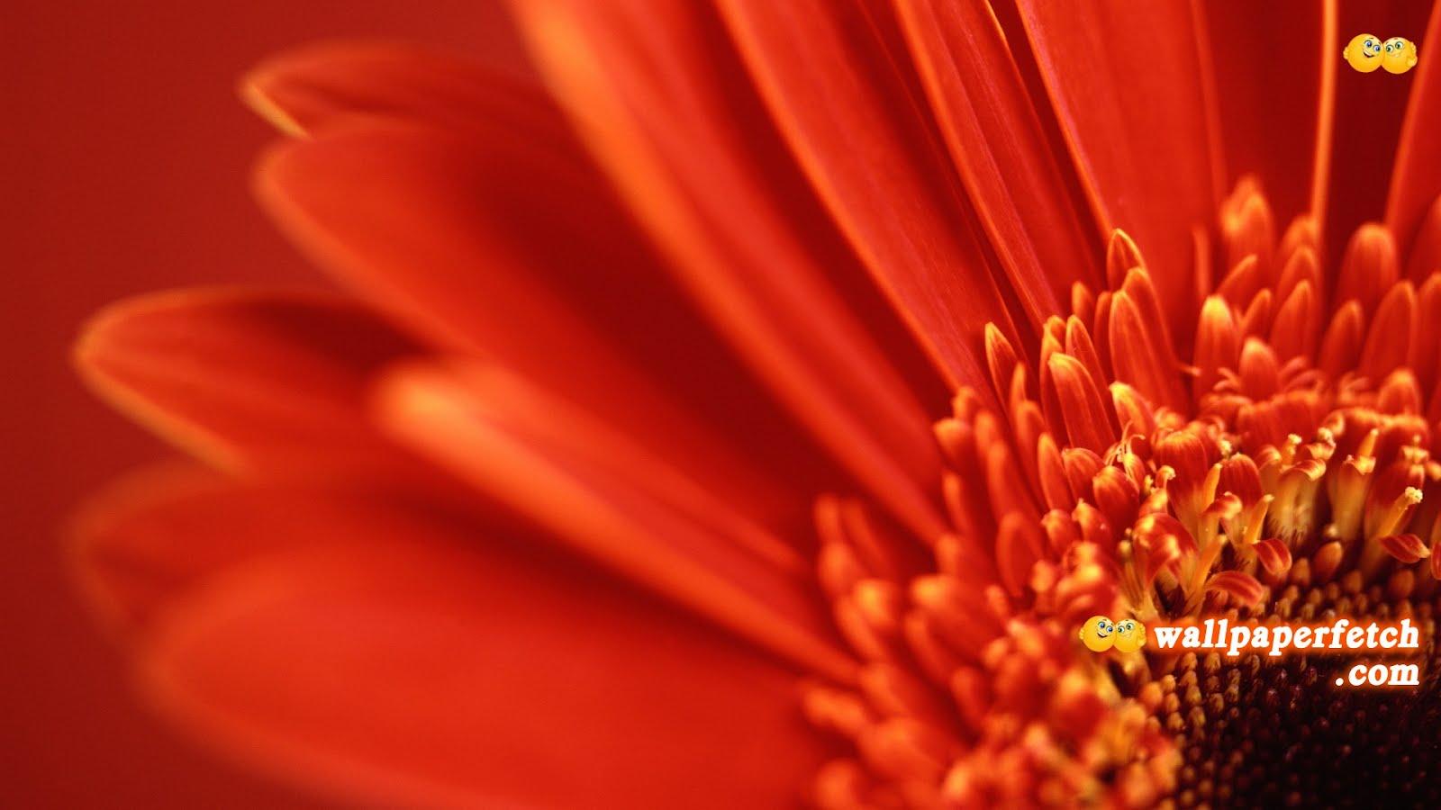 http://1.bp.blogspot.com/-_oAezi8KJew/T-oYnPy8PhI/AAAAAAAABnw/8Bq8AEleOvY/s1600/red-gerbera-hd-wallpaper.jpg