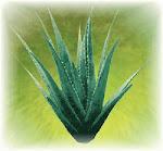 Aloe ABC