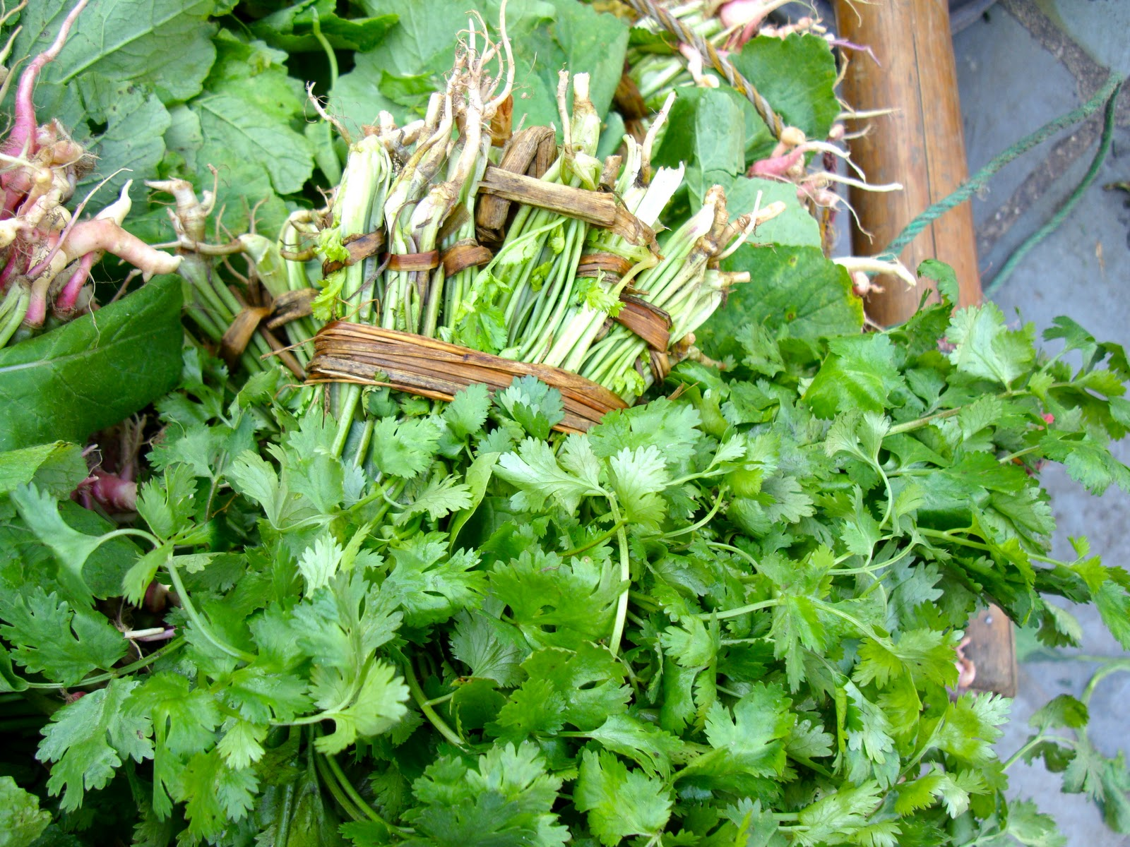 Taste of nepal november 2011 freshly picked cilantro is sold neatly tied in bunches with stems and roots in nepali markets stopboris Gallery