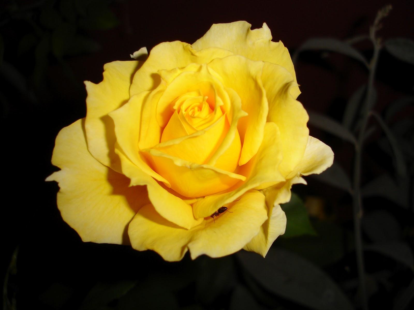 jardim rosas amarelas : jardim rosas amarelas:Elas compartilham o espaço (aéreo) com crotalária e labe-labe. Mas