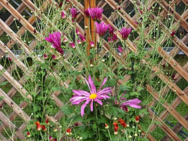 肥後菊は肥後藩主が栽培した門外不出の菊である。