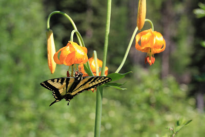 Papilio rutulus - Western Tiger Swallowtail on Lilium columbianum - Columbia Lily
