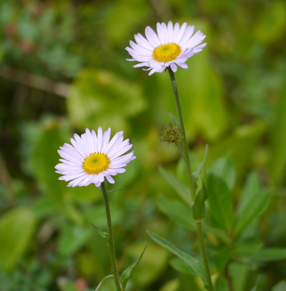 Summer flowers sub alpine daisy comes out earlier in the season than its almost identical twin the leafy aster the daisy has 30 80 outer petals while the aster typically izmirmasajfo