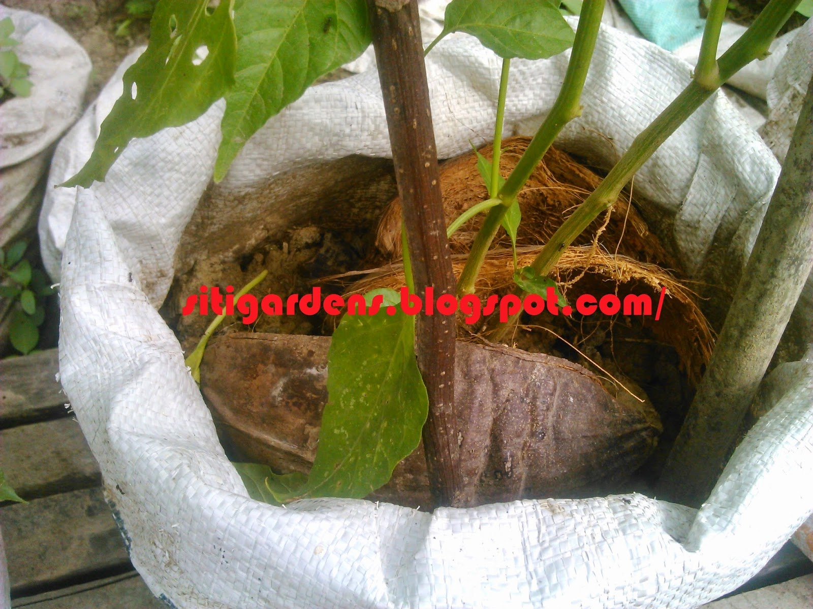 Fungsi Sabut Kelapa dalam Budidaya Cabe dalam Karung