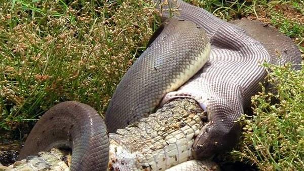 serpent avalant un crocodile gros plan 2