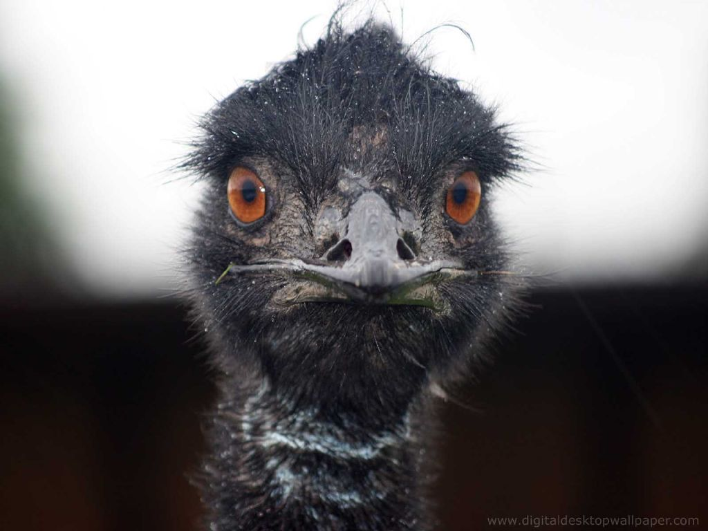 Funny Ostrich Wallpaper For Desktop