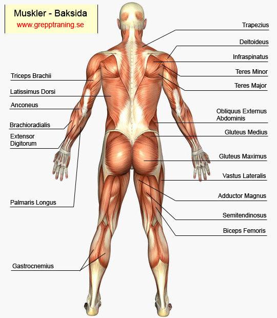 muskler i kroppen latin