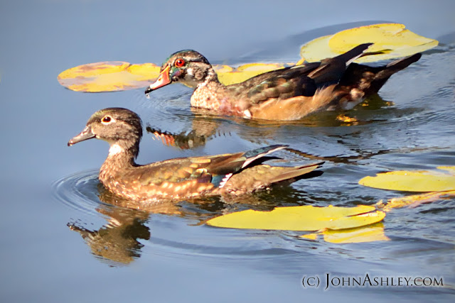 Female and male Wood Ducks (c) John Ashley