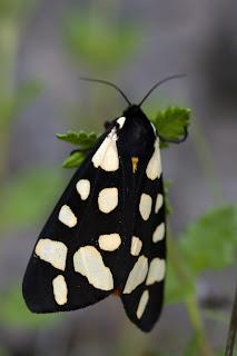 Para ampliar Arctia (Epicallia) villica (Linnaeus, 1758) Polilla tigre hacer clic