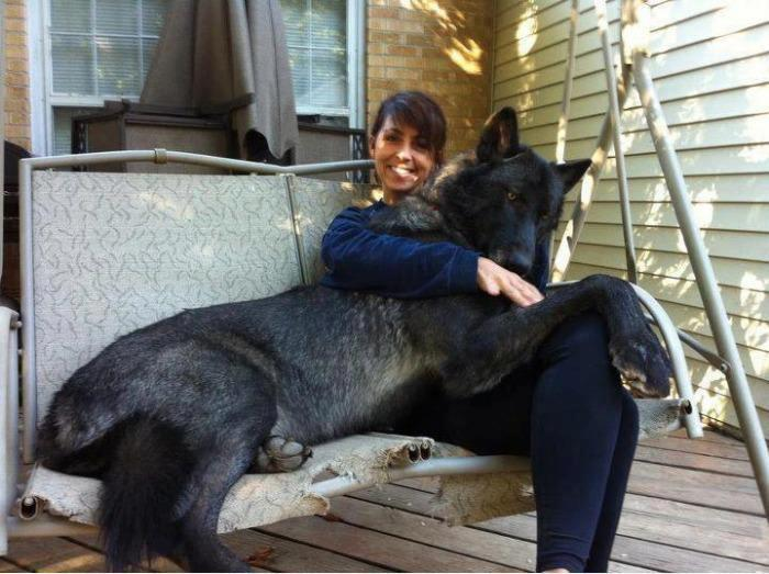 Hybrid Wolf Dogs as Pets