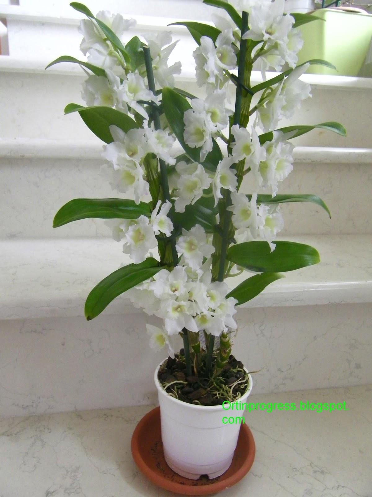Orti in progress un 39 altra orchidea il dendrobium for Orchidea pianta