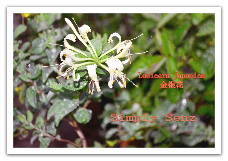 Simply Senz Anti inflammatory herb Honeysuckle flower
