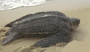 Foto Leatherback sea turtle