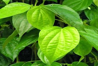 manfaat daun sirih untuk kewanitaan,daun sirih untuk wajah,daun sirih merah,daun sirih merah untuk kecantikan,daun sirih hijau,daun sirih merah untuk kesehatan,