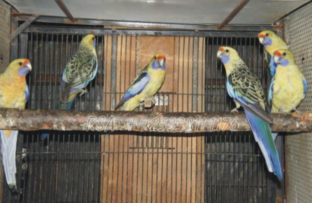 Yellow Rosellas for sale