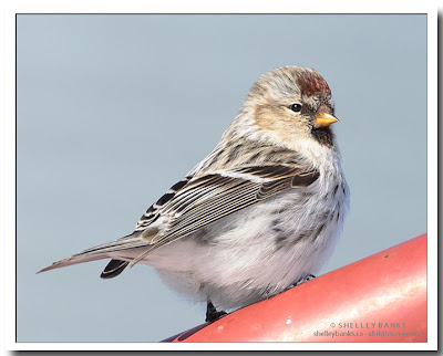 Redpoll with a copper cap on its head.  photo © Shelley Banks, all rights reserved