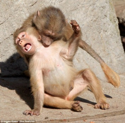 funny baboons funny pictures funny and cute animals