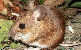 Field Mice Pets Cute And Docile