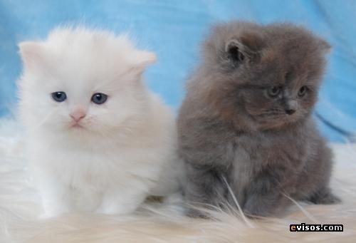 Fotos de gatos persas bebes 41