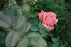 Rosa del Convento de Calatayud