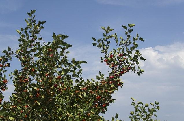 Berry Hawthorn