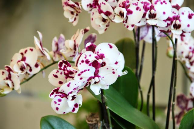 Edinburgh Botanic Gardens Orchids