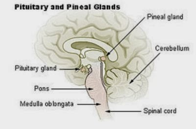 The Pineal Gland and the Age of Aquarius  Pinceal