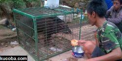 Babi Aneh Di Cianjur Yang Dikira Babi Ngepet