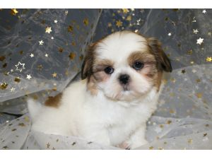 Cute Puppy Dogs New Born Shih Tzu Puppies