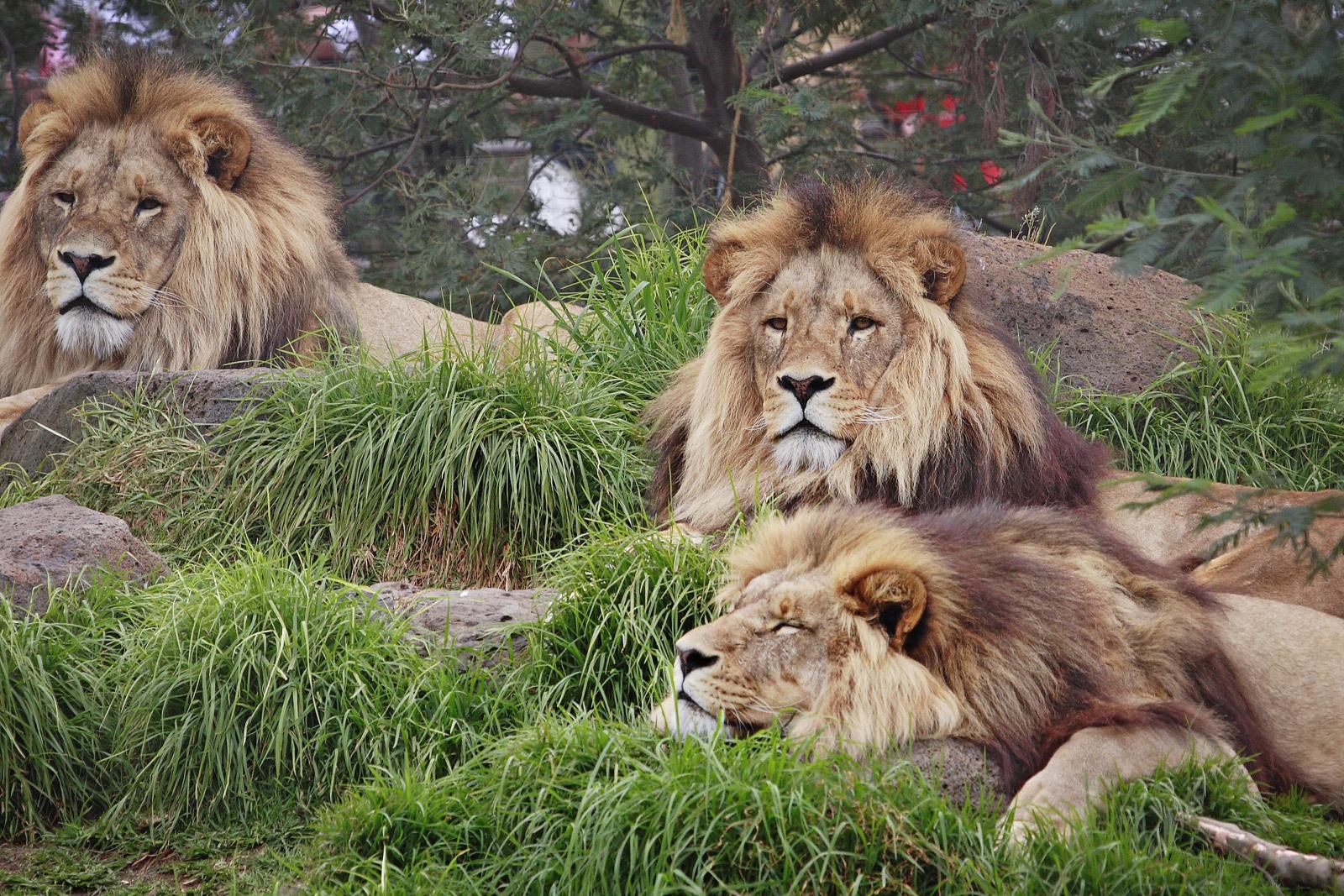 http://1.bp.blogspot.com/-_tjQVQSYBpY/TsuWChjJpKI/AAAAAAAAA-c/PtR6fP3CZvA/s1600/Lion%2Bwallpapers%2Bhd%2B1%255D.jpg