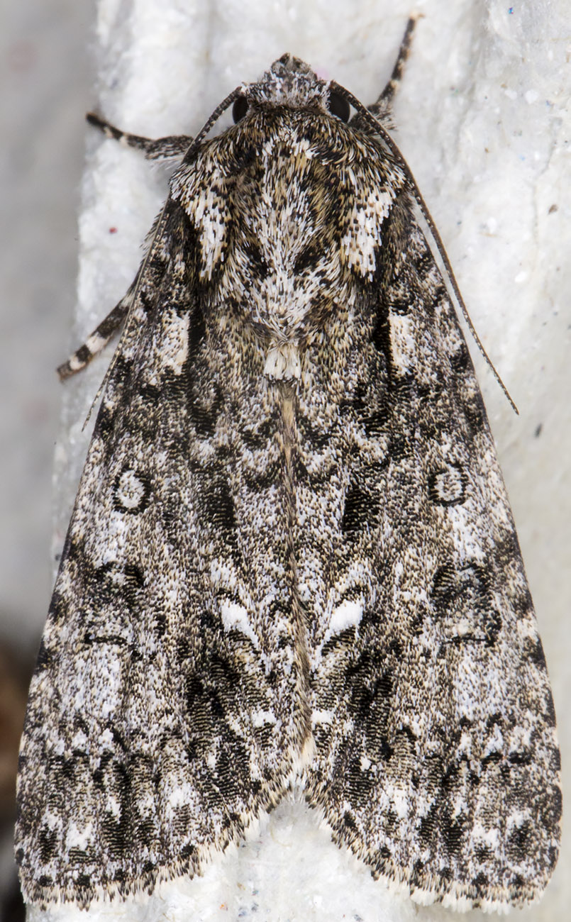 Knot Grass, Acronicta rumicis.  Noctuidae.  Crowborough, July 2014.