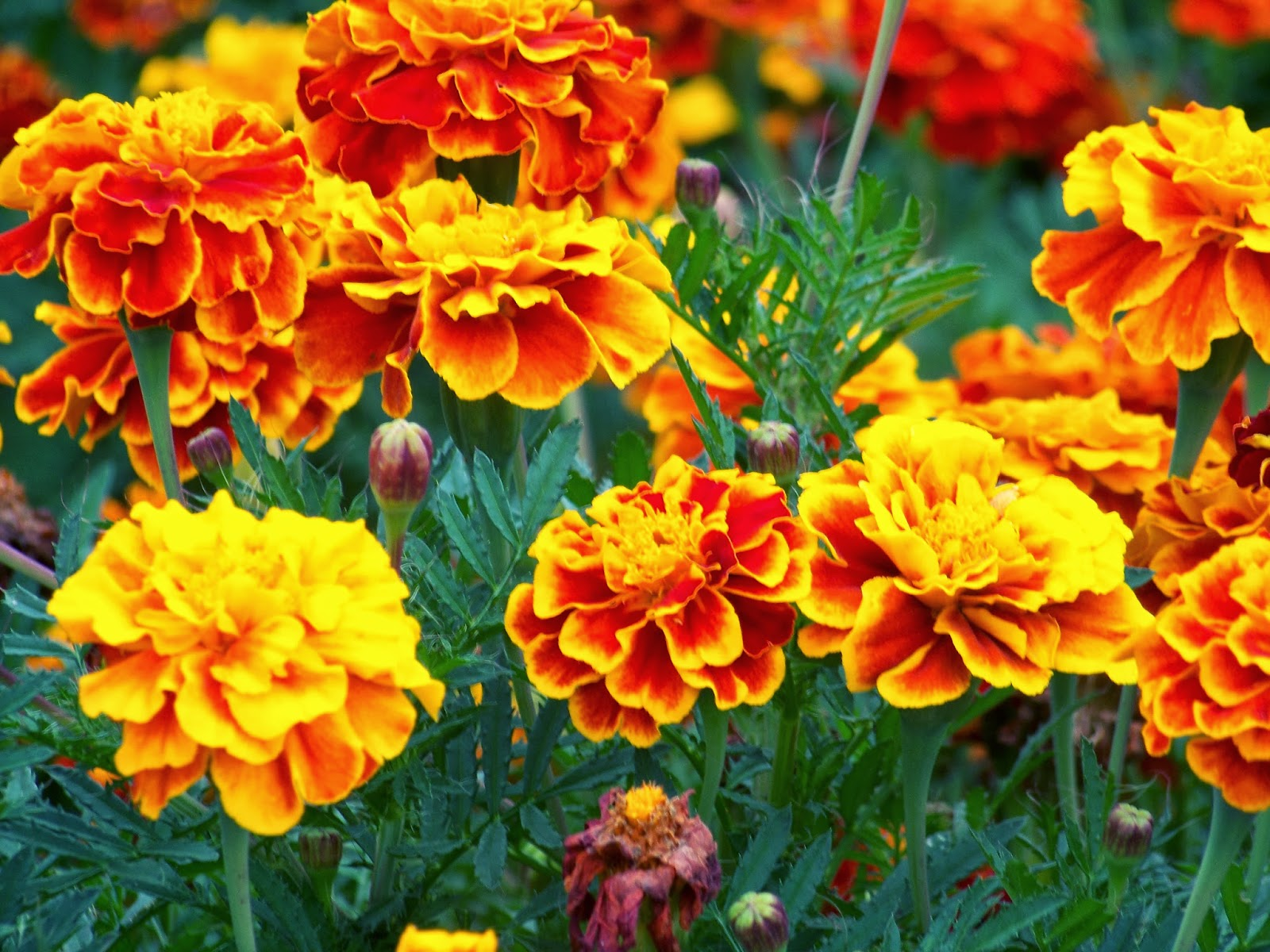 fiction and simple marigolds Explore petunia jules's board marigolds on pinterest | see more ideas   marigold plants are a very prolific, easy to grow annual flower maybe i'll be able  to.